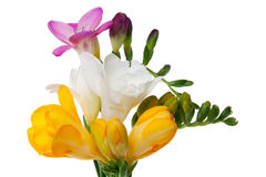 Freesia Royalty Free Stock Photo