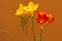Freesia Royalty Free Stock Photos