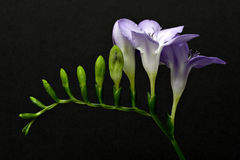 Freesia Foto de Stock Royalty Free