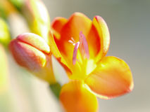 Freesia Fotografia de Stock Royalty Free