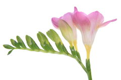 Freesia Fotos de Stock Royalty Free
