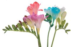 Freesia. Pink, red,white and blue freesia isolated on white Royalty Free Stock Photo