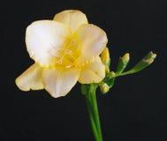 Freesia amarillo Fotografía de archivo