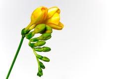Freesia amarillo Imágenes de archivo libres de regalías