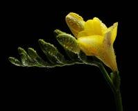 Freesia amarillo con gotas del agua Imagenes de archivo