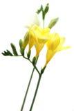 Freesia amarillo en blanco Imagen de archivo libre de regalías