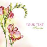 Freesia background Royalty Free Stock Photos