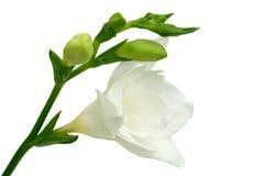 Freesia bianco Fotografia Stock