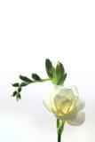 Freesia blanc Photographie stock libre de droits