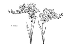 Freesia blommar teckningen och skissar royaltyfri illustrationer