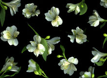 Freesia Blossoms on Black Royalty Free Stock Photos
