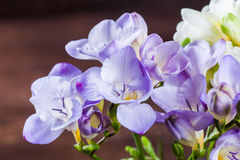 Freesia blossoms. In purple and white Royalty Free Stock Images