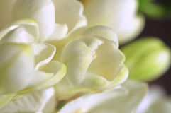 Freesia Buds Royalty Free Stock Photos