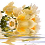 Freesia cluster reflect in the water. A shoot of freesia cluster reflect in the water whit white background Stock Photography