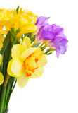 Freesia and daffodil  flowers. Blue and yellow freesia and daffodil  flowers   isolated on white background Stock Photos