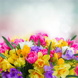 Freesia and daffodil  flowers  border. Multicolored  freesia and daffodil  flowers on blue bokeh background Royalty Free Stock Images