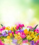 Freesia and daffodil flowers border. Multicolored freesia and daffodil flowers on green bokeh background Royalty Free Stock Photography