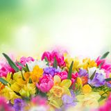 Freesia and daffodil flowers border. Multicolored freesia and daffodil flowers on green garden background Royalty Free Stock Photography