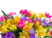 Freesia and daffodil  flowers  border. Multicolored  freesia and daffodil  flowers border  isolated on white background Stock Image