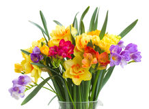 Freesia and daffodil  flowers close up. Multicolored  freesia and daffodil  flowers close up   isolated on white background Stock Photo