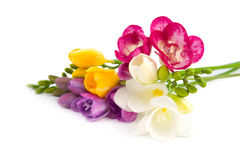 Freesia floreciente. Imagen de archivo libre de regalías