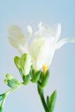 Freesia flower Stock Photos