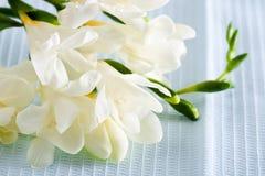 Freesia flower Royalty Free Stock Photo