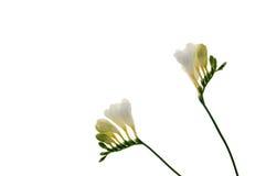 Freesia flower background. Freesia flower on white background Stock Images