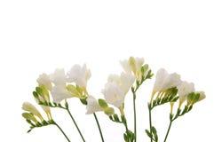 Freesia flower background. Freesia flower on white background Royalty Free Stock Image