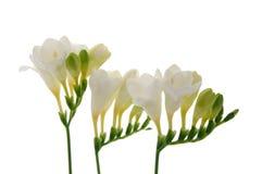 Freesia flower background. Freesia flower on white background Royalty Free Stock Photos