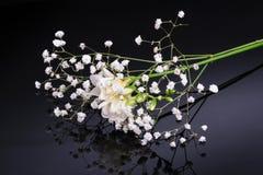 Freesia flower isolated on black reflective background Stock Photo