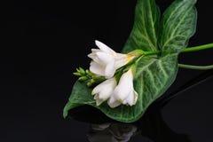 Freesia flower isolated on black reflective background Stock Photography