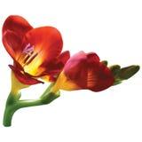 Freesia flower. Freesia red-yellow flower, mesh Royalty Free Stock Photos