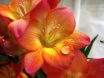 Freesia flower with a water drop Royalty Free Stock Photography