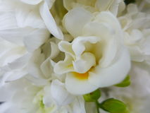 Freesia flower - white. White Freesia flowers in bouquet Royalty Free Stock Photo