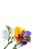 Freesia  flowers Stock Photo