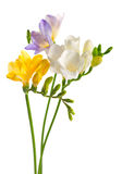 Freesia flowers. White and yellow and purple freesia flowers Royalty Free Stock Photography