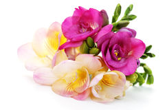 Freesia flowers. On white background - flowers and plants Royalty Free Stock Photos