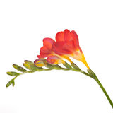 Freesia flowers. Red and yellow freesia with flowers Royalty Free Stock Image