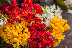 Freesia flowers Stock Image