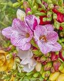 Freesia flowers close-up Stock Image