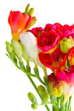 Freesia flowers close up Stock Photography
