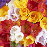 Freesia flowers closeup, natural background Stock Images