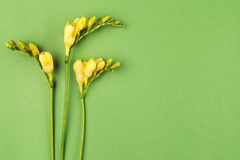 Freesia flowers on green paper background Stock Images