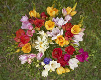 Freesia flowers, natural background Royalty Free Stock Photo