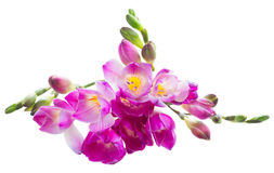 Freesia  flowers Royalty Free Stock Photography