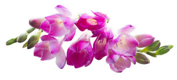 Freesia  flowers. Violet twig of  freesia  flowers   isolated on white background Stock Images