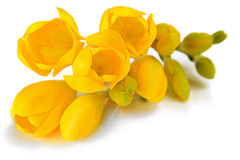 Freesia flowers Stock Image
