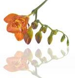 Freesia fresco Imagen de archivo libre de regalías