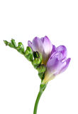 Freesia. A fresh purple freesia flower in bud Royalty Free Stock Photos